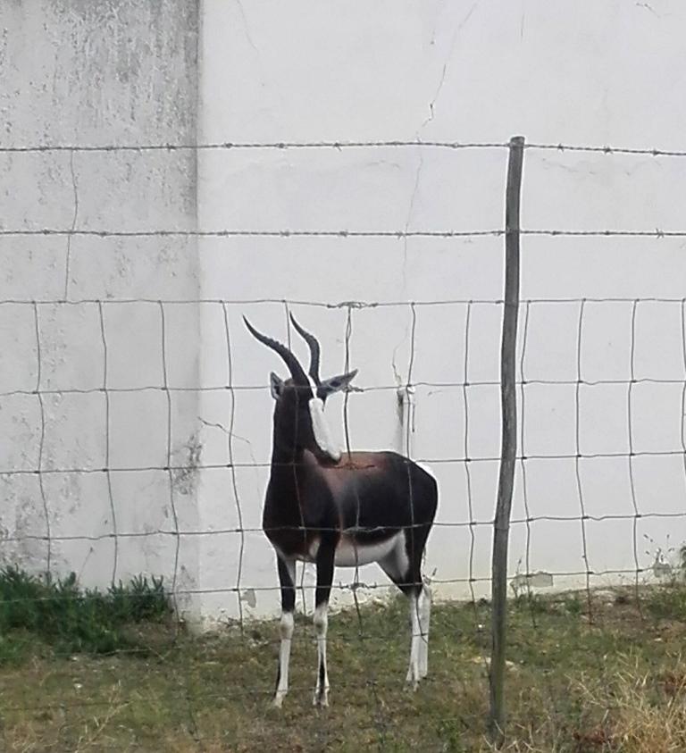 Beautiful Bontebok